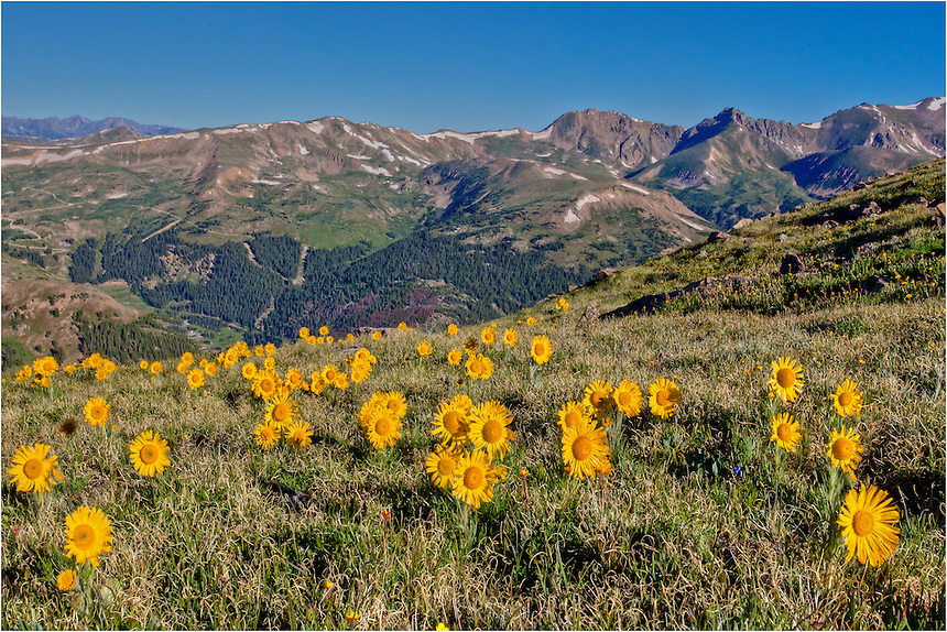"""From high up on Loveland Pass, these """"Old Man of the Mountains"""" wildflowers reach towards the sun. These Colorado wildflowers can be found early in July after the snows melt, and can often be found with beautiful landscapes and mountains in all directions."""