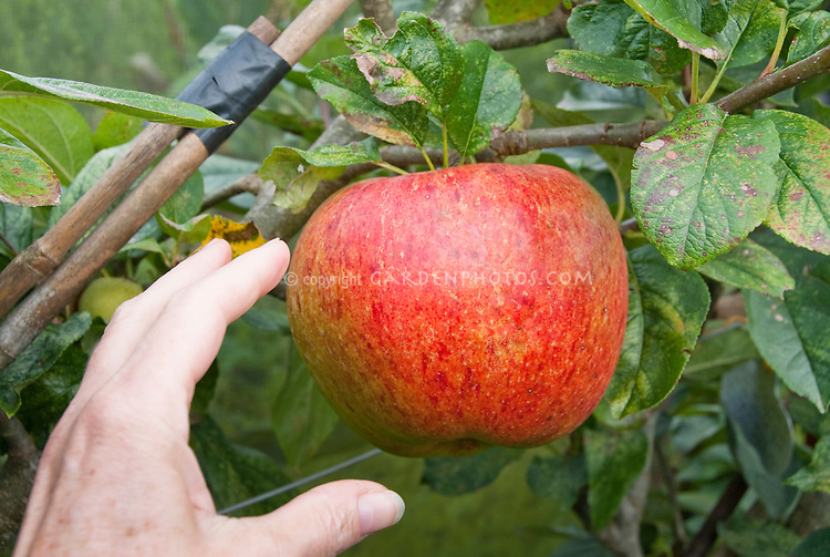 Apple 'Falstaff' big Malus domestica red apple growing on tree with hand and fingers