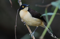 Black-capped Donacobius (Donacobius atricapillus), Pantanal, Brazil