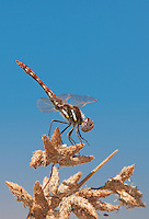 362800008 a wild male variegated meadowhawk dragonfly sympetrum corruptum perches on a small limb in pahranagat national wildlife refuge nevada united states