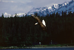 A bald eagle flies along a coastal ridge in Southeast Alaska.