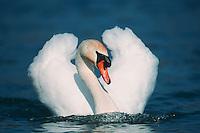 Mute swan (Cygnus olor), male swimming, Flachsee, Aargau, Switzerland