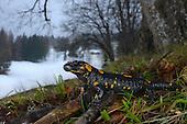Fire Salamander (Salamandra salamandra), Alps, Italy