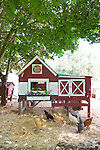 Urban chicken coop with chickens