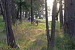 deer grazing in the slanting morning sunlight on new grass in a lightly forested area