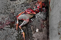 A dead mutilated body of a fighting cock, covered in blood, thrown in the corner of the arena in Cabure, Venezuela, 28 May 2006. Cockfight is a widely popular and legal sporting event in much of Latin America. The fight is usually held in an arena (gallera) with seats for spectators. There is always gambling involved in cockfights. People take advantage of cock's natural, strong will to fight against all males of the same species. Birds are specially bred to increase their aggression and stamina, they are given the best of food and care. The cocks are equipped with tortoise-shell made gaffs tied to the bird's leg. The fight is not intentionally to the death but it may result in the death of cocks very often because birds never stop fighting. They may bleed, they may have punctured lungs, both eyes pecked out but they naturally fight to the death.