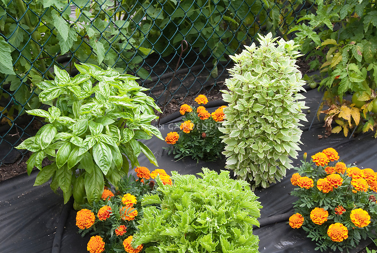 Three kinds of basil Ocimum in garden Plant Flower Stock