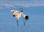 Red-Crowned Crane,  Hokkaido Island, Japan