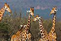 Rothschild's giraffes (Giraffa camelopardalis rothschildi), Kenya, Lake Nakuru National Park