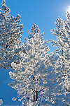Frost covered trees on a sunny winter day in Montana