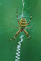 Wasp Spider (Argiope bruennichi), adult in web, Switzerland