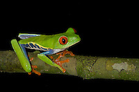 A Red-eyed Tree Frog, Agalychnis callidryas, climbing a tree branch in Costa Rica