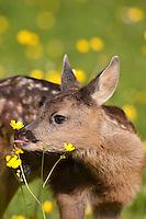 Rehkitz, Reh-Kitz, frisst Hahnenfuß-Blüte, Kitz, Tierkind, Tierbaby, Tierbabies, Europäisches Reh, Ricke, Weibchen, Capreolus capreolus, Roe Deer, Chevreuil