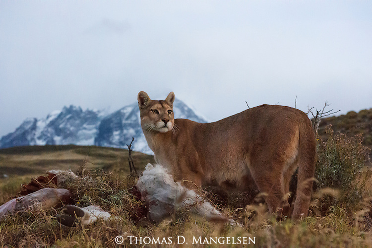 A Puma watches over its guano kill in the brush in Patagonia, Chile.