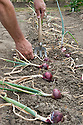 Loosen the roots with a hand fork, then lay the onions on the ground to dry in the sun for a few days before bringing them indoors to store them. Mid July.