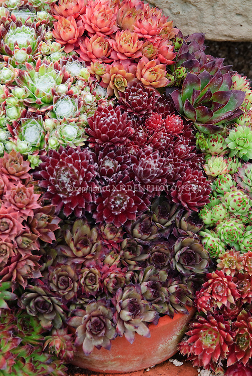 Sempervivums succulent plants mixed in pot containers, a wide variety of types and colors
