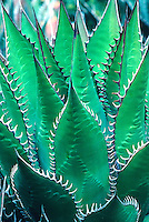 Agave shawii-Maguey Cactus/Century Plant