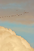 Pinkfoot Geese Leaving the safety of the Saltmarshes, to forage for food in surrounding fields.