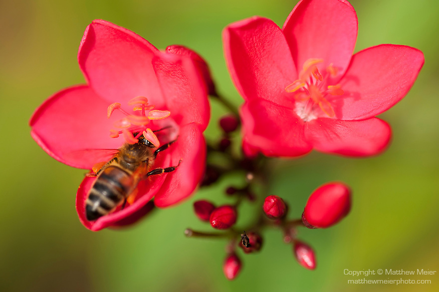 Rakiraki, Viti Levu, Fiji; a honeybee searches for nectar in a pair of symmetrical red flowers