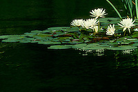 Quiet calm of pond with blooming water lilies (Nymphaeaceae) floating on the surface