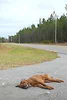A dead dog on the side of the road in Waycross, Georgia