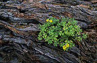 Yellow Wood-Sorrel, Oxalis dillenii, blooming on fallen Mesquite Tree, Lake Corpus Christi, Texas, USA
