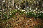 White Snakeroot (Eupatorium rugosum) and flowing grass, Roan Highlands