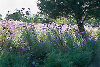Cedar tree surrounded by cosmos wildflowers