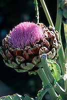 FOOD GROUPS: VEGETABLES<br /> Artichoke Flower<br /> Artichokes are usually harvested before they flower.