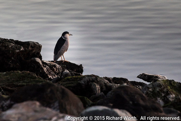 A Black-crowned night heron stands motionless on the rocks along the shore at the San Leandro Marina Park.