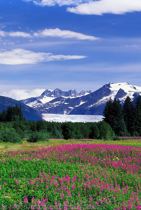 Fireweed in full bloom, Mendenhall glacier, Juneau, Alaska. Mendenhall glacier terminus, Juneau, Alaska.