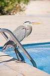 Puerto Ayora, Santa Cruz Island, Galapagos, Ecuador; a Great Blue Heron (Ardea herodias) bird standing at the edge of the swimming pool at the Finch Bay Eco Hotel , Copyright © Matthew Meier, matthewmeierphoto.com All Rights Reserved