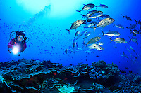 Female scuba diver swims beside a large school of Bigeye Jacks or Travally (Caranx sexfasciatus) at Bradford Shoals in Kimbe Bay off New Britain Island, Papua New Guinea.