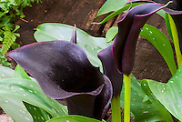 Zantedeschia Palermo Black flower