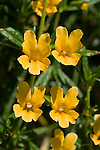 Bush monkeyflower, Mimulus aurantiacus, Mount Diablo State Park, California