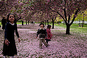Brooklyn, New York<br /> April 25, 2010<br /> <br /> The Botanical Gardens in Prospect Park as children play with the last of the cherry blossom trees.