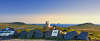 Highest Point on Valentia Island Geokaun Mountain Viewing point Platform with sheep, overlooking Portmagee, The Skellig Islands, Bray Head Tower / vl098 I love the Skelligs,