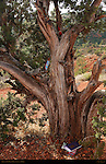 Shrine on Old Pinyon Pine, Sedona, Arizona
