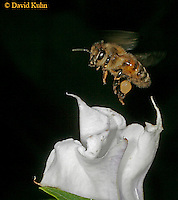 0824-06xx  Honey bee - Apis mellifera © David Kuhn/Dwight Kuhn Photography