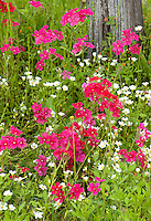 168210002 brilliant red drummonds phlox phlox drummondii and other wildflowers including some texas bluebonnets lupinus texensis in de witt county texas