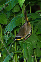 Common Yellowthroat searching for insects