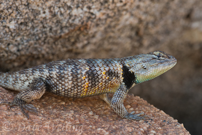442800041 a wild yellow-backed spiny lizard sceloparus uniformis sits by a large granite rock near big pine in inyo county california