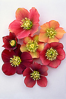 Helleborus hybridus Peggy Ballard mix seedlings hellebores picked on white background variety of colors