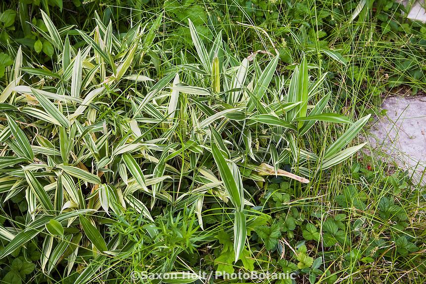 Sasa groundcover bamboo in meadow garden front yard lawn substitute, St Louis Missouri; Matt Moynihan design