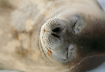 Detail of a Weddell seal, Antarctica