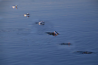 In a sequence of six blended images, a Bufflehead duck floats, turns,dives and disappears.