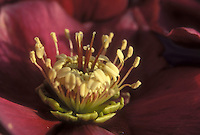 Helleborus red closeup stamens &amp; pistils GR20997 flower hellebore, pollination educational