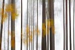 Autumnal pine forest abstract, Finland.
