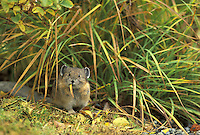 American Pika (Ochotona priceps) eating grass, Edith Creek Basin, Paradise, Mount Rainier National Park, Washington