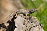 Western fence lizard, Sceloporus occidentalis, Mount Diablo State Park, California